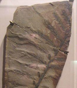 Archaeopteris_hibernica_2