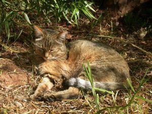 Photo of an african wildcat.